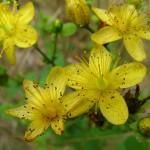 Жълтият кантарион стимулира работата на мозъка