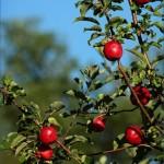 дива ябълка